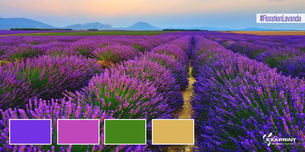 [ #ExaCouleur ] Le spectacle de couleur de la floration de la lanvanda en provenza