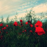 Life-of-Pix-free-stock-photos-red-poppy-nature-juliacaesar